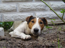 Smooth Fox Terrier. A kind of smooth-haired Fox Terrier.the dog is trying to crawl under the fence Royalty Free Stock Photos