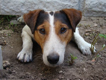 Smooth Fox Terrier. A kind of smooth-haired Fox Terrier.the dog is trying to crawl under the fence Royalty Free Stock Photo