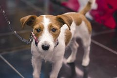 Smooth fox terrier. Looks at the lens with plaintive eyes. Beautiful look of the Fox Terrier stock photography
