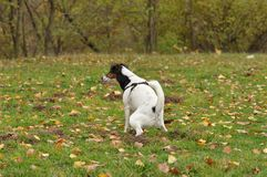 Dog pooping. Smooth Fox Terrier pooping outside Royalty Free Stock Images