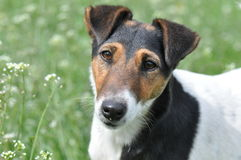 Smooth fox terrier portrait Royalty Free Stock Images