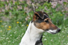 Smooth fox terrier portrait Royalty Free Stock Photos