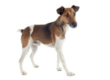 Smooth fox terrier. Portrait of a purebred smooth fox terrier in front of white background Stock Images