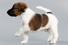 Smooth fox terrier. The puppy on a gray background, photographed Royalty Free Stock Photo