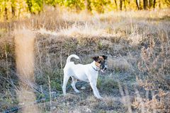 Smooth fox terrier puppy on the leash in autumn grass. Young fox. Terrier dog standing on the leash in beautiful meadow on a sunny fall afternoon stock photo