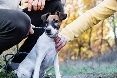 Smooth fox terrier puppy on the leash in a park. Young fox terri. Er dog on the leash controlled by two persons stock photography