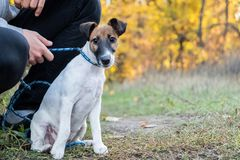 Smooth fox terrier puppy on the leash in a park. Young fox terri. Er dog on the leash in hands a male person stock images