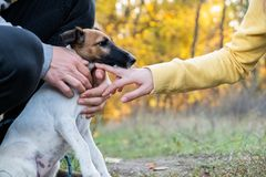 Smooth fox terrier puppy on the leash in a park. Young fox terri. Er dog on the leash in hands of two persons stock image