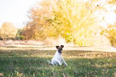 Smooth fox terrier puppy sitting on the grass in autumn. Young f. Ox terrier dog playing in a beautiful meadow on a sunny fall afternoon stock image
