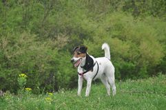 Dog walk on the meadow. Royalty Free Stock Image
