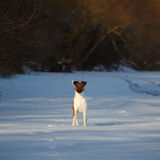 Smooth Fox Terrier is running on a flat snow surface. Stock Photo