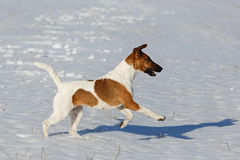 Smooth Fox Terrier is running on a flat snow surface. Training. A hunting dog Stock Photography