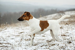 Smooth Fox Terrier standing in the rack on a flat snow surface. Stock Image