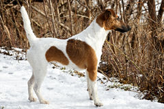 Smooth Fox Terrier standing in the rack on a flat snow surface. Royalty Free Stock Images