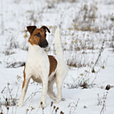 Smooth Fox Terrier standing in the rack on a flat snow surface. Stock Photos
