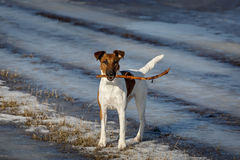 Smooth Fox Terrier standing with stick in his mouth Stock Photos
