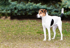 Free Smooth Fox Terrier Stands. Royalty Free Stock Image - 58967446