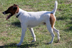 Smooth fox terrier stands in the park Stock Photos