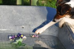 Dog trying to steal a flower. Smooth Fox Terrier trying to steal a flower royalty free stock photos