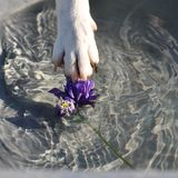 Dog trying to steal a flower. Smooth Fox Terrier trying to steal a flower royalty free stock image
