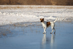 Smooth Fox Terrier is walking on thin ice .. Training Royalty Free Stock Photos