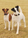 Smooth Fox Terriers in the Spring. Smooth Fox Terriers at field in Spring Royalty Free Stock Images