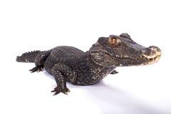Free Smooth-fronted Caiman,Paleosuchus Trigonatus Royalty Free Stock Image - 99159626