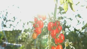 Growing cherry tomatoes in the sunlight. The smooth glide of the camera  from left to right  along the bush with a two bunch of cherry tomatoes stock footage