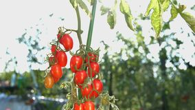 Growing cherry tomatoes in the sunlight. The smooth glide of the camera  from left to right  along the bush with a two bunch of cherry tomatoes stock video footage