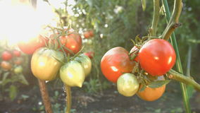 Growing tomatoes. Close-up. The smooth glide of the camera  from right to left  along the two bushes with a tomatoes stock video footage