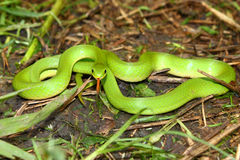 Smooth Green Snake (Opheodrys vernalis) Stock Photo