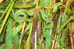 Smooth Green Snake (Opheodrys vernalis). In Illinois camouflaged in grass Royalty Free Stock Images