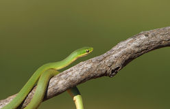 Smooth green snake on tree branch. Royalty Free Stock Photos