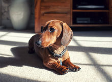 Smooth hair dachshund. Smooth hair shaded dachshund puppy sitting Stock Photography