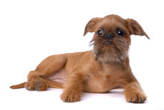 Smooth haired Brussels Griffon puppy royalty free stock images