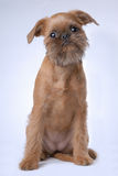 Smooth haired Brussels Griffon puppy Stock Photography