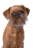 Smooth haired Brussels Griffon puppy Stock Photo