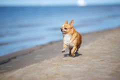 Funny chihuahua dog running on the beach. Smooth haired chihuahua dog on the beach stock photography