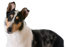 Smooth haired collie Royalty Free Stock Photo