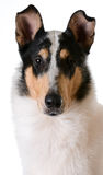 Smooth haired collie Stock Photo