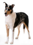 Smooth haired collie Stock Photos