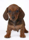Smooth-haired Dachshund puppy Stock Photography