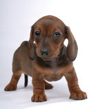 Smooth-haired Dachshund puppy wondering Royalty Free Stock Photography