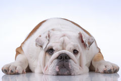Smooth-haired English Bulldog Royalty Free Stock Photos