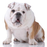 Smooth-haired English Bulldog Stock Images