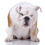 Smooth-haired English Bulldog dozing Royalty Free Stock Photo