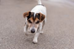 Smooth-haired Jack Russell Terrier hound islooking forwards royalty free stock photo