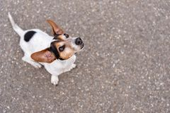 Smooth-haired Jack Russell Terrier hound is looking up. Jack Russell Terrier 11 years old, hair style smooth - Cute small little dog. Doggy is looking up, funny stock image