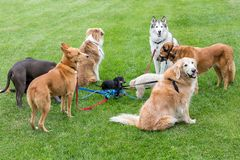 Miniature dachshund in the middle of a group of several large dogs. Smooth-haired miniature dachshund in the middle of a group of several large dogs tied royalty free stock images