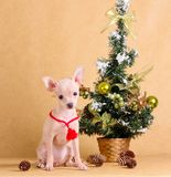 A bright puppy is sitting next to the New Year tree. A small dog with Christmas decorations on a beige background. Smooth-haired Russian Toy Terrier. Studio Royalty Free Stock Images